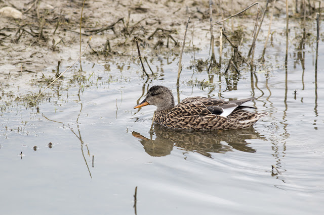Female Gadwall Swimming