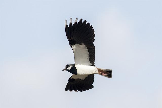 More Flight shots of Lapwing