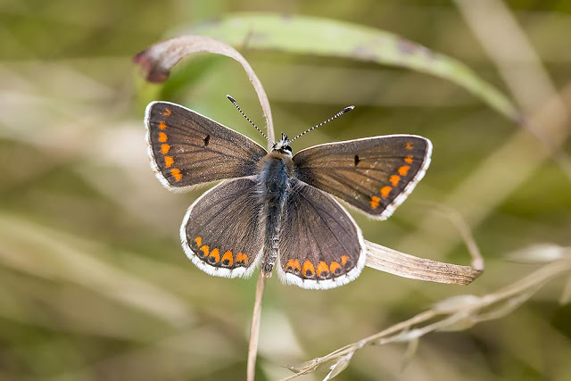 Brown Argus - often found on the fields before the sheep are let out in summer