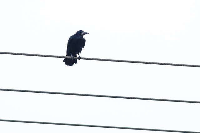 Rook on the Wires