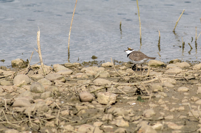 Would You Rather - Little Ringed Plover