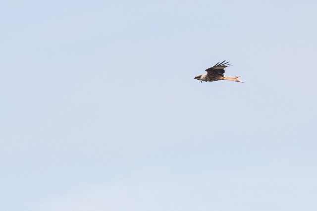 Red Kite flying through Manor Farm.
