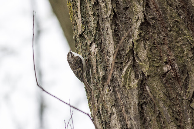 One of the Treecreeper
