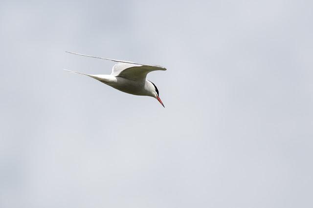 Common Tern Flight