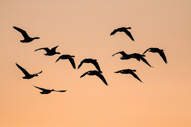 Greylag Geese flying over Cattle Fields