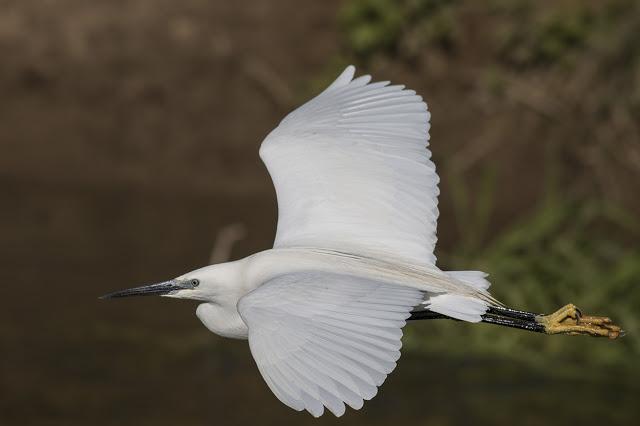 Beautiful Day - Little Egret in Flight