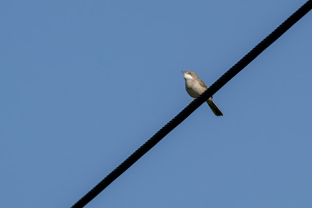 Common Whitethroat on the Wires