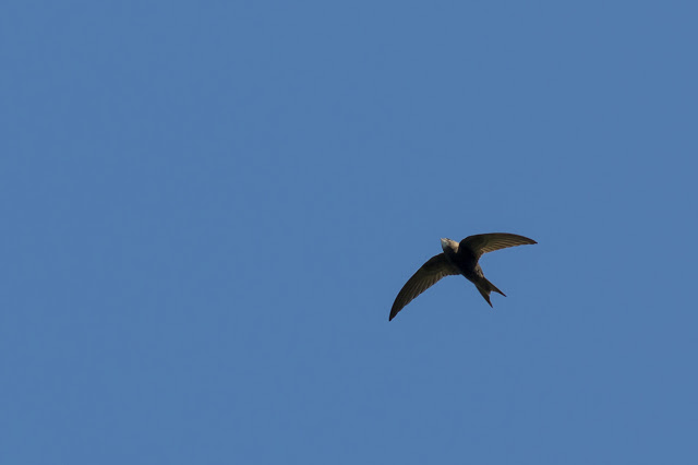 Common Swift in Flight (cropped)