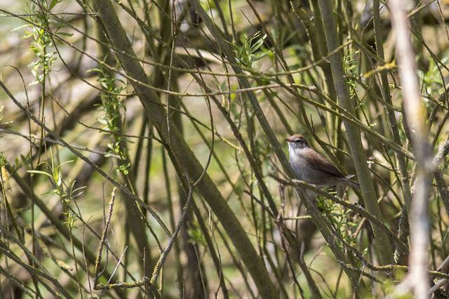 Cetti's Warbler preparing to sing