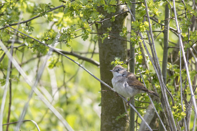 Male Common Whitethroat