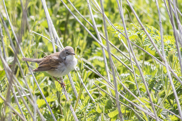 A Quick Post - Common Whitethroat