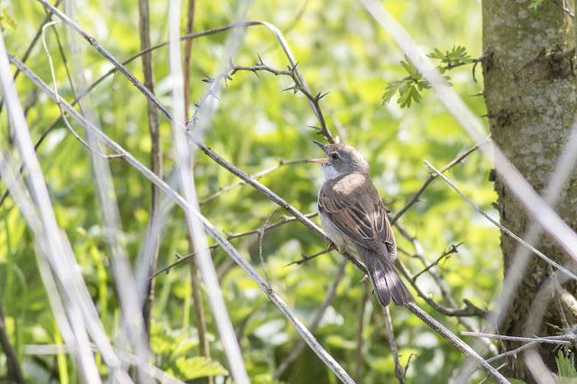 Singing Male Common Whitethroat