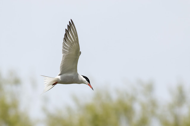 Hovering Common Tern