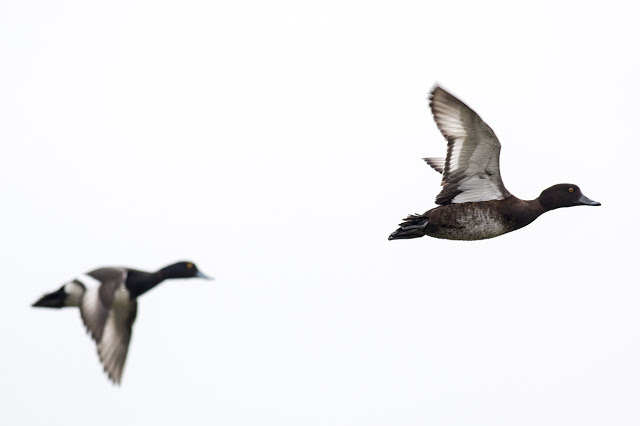 Female and Male Tufted Duck in Flight