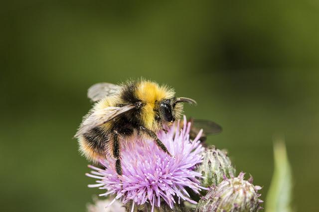 Bee species