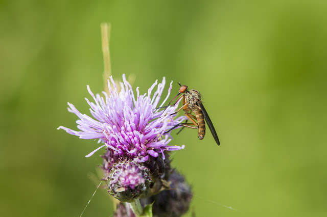 Last June Jaunt - Hoverfly on thistle flower
