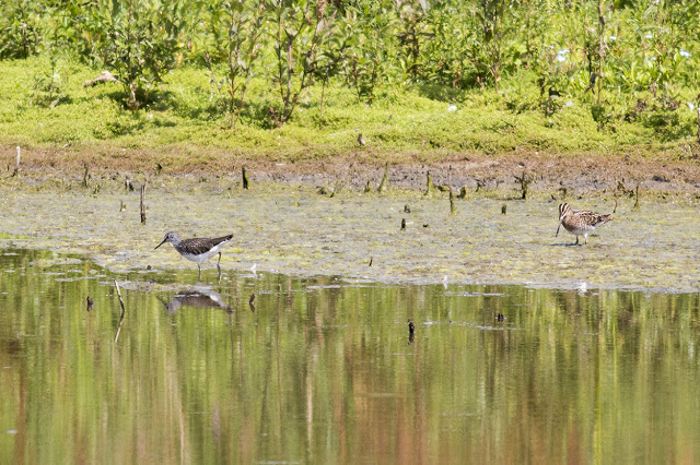 Green Sandpiper & Common Snipe