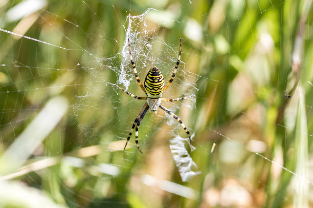Wasp Spider (Thank you to the two gentlemen who pointed her out to me, made my day).