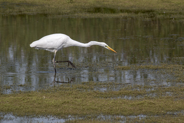 Hunting Great White Egret