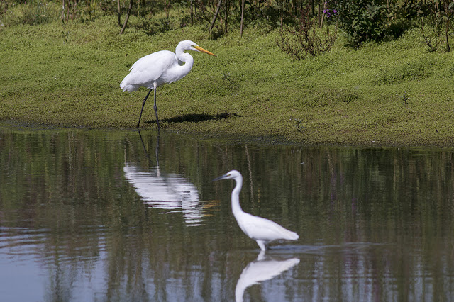 Great White Egret & Little Egret