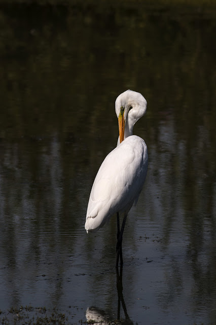 Great White Egret - a bit of an artistic attempt!