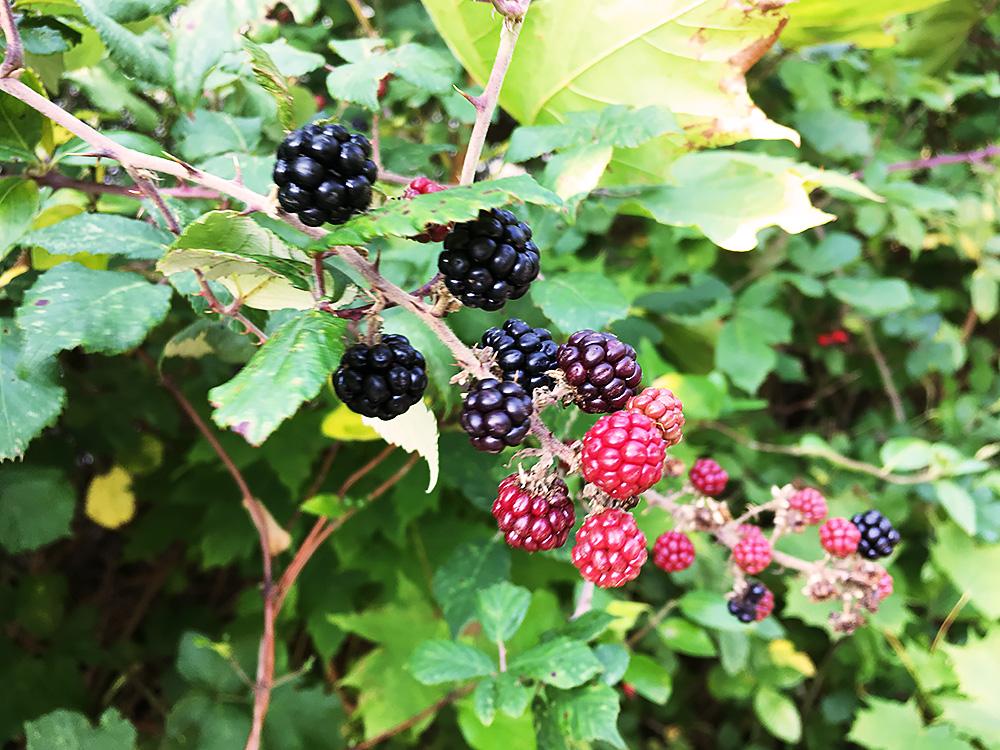 After School Blackberry Picking - mixed ripeness blackberries