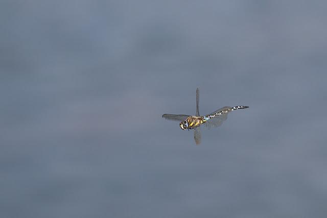 Migrant Hawker in Flight (male)