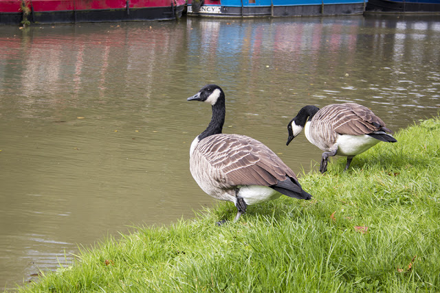 Canada Geese along the Grand Union canal
