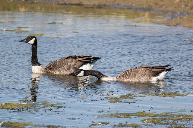 Raucous Canada Geese