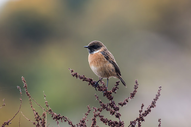 Stonechat at the Floodplain Forest Nature Reserve