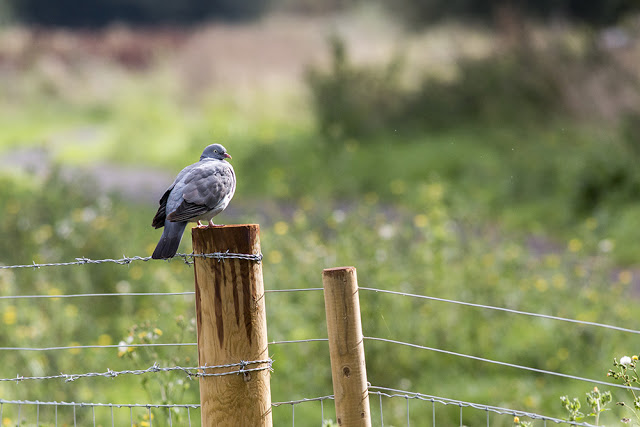 Wood Pigeon on a post