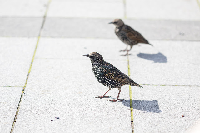 Starlings after chips
