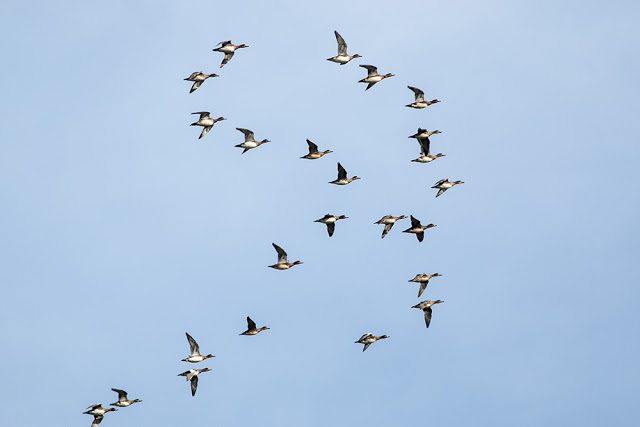 Wigeon Flock in flight