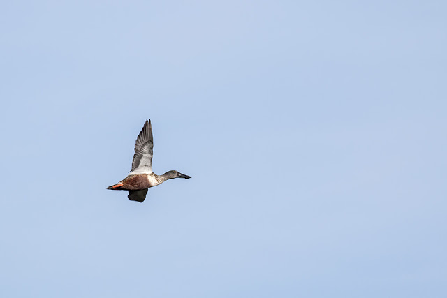 Shoveler in Flight