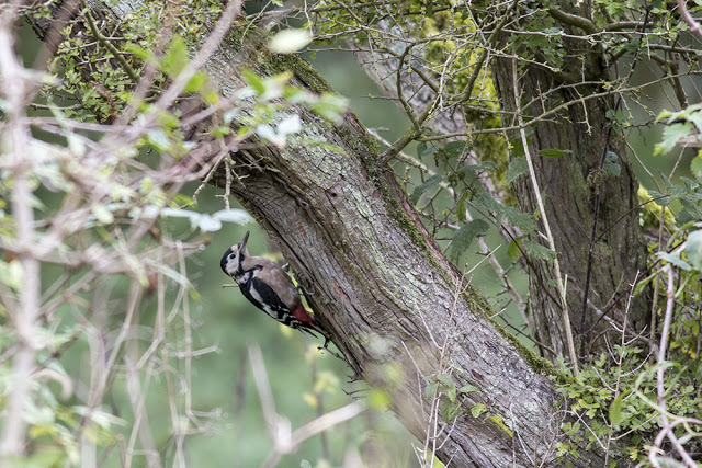 Great Spotted Woodpecker pecking away