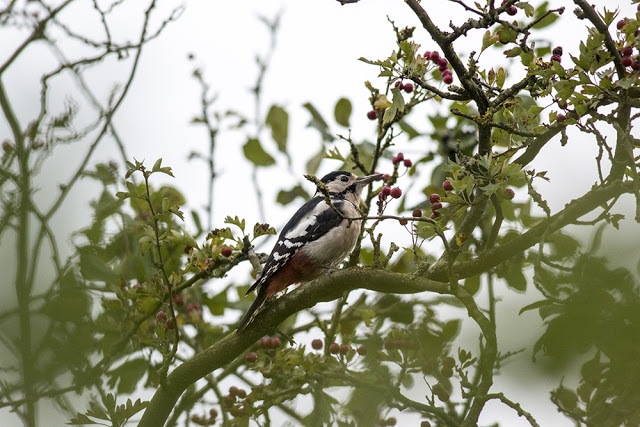 Great Spotted Woodpecker perched