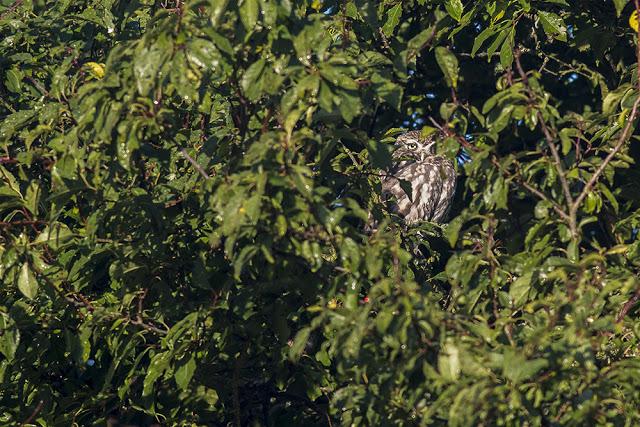 Little Owl hidden in the trees