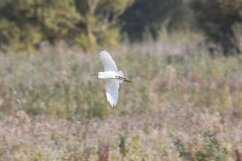 A Cold Crispness - Little Egret in Flight