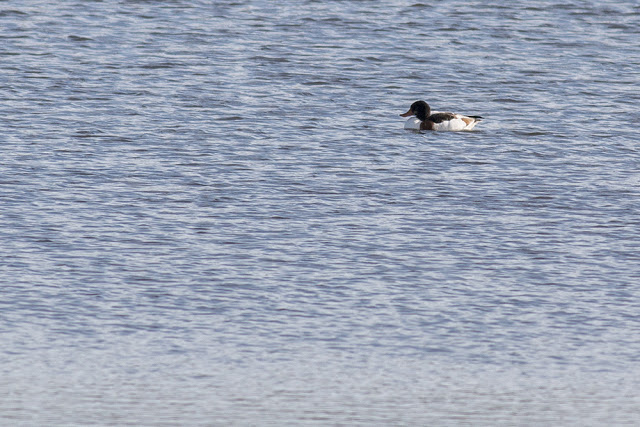 Not a great photo but a patch year tick - Shelduck