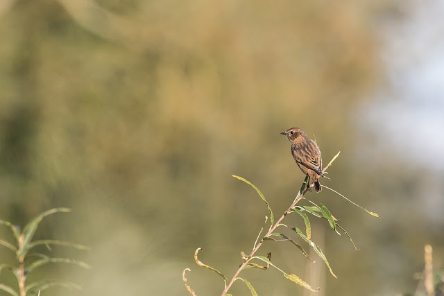 Stonechat on the Floodplain Forest
