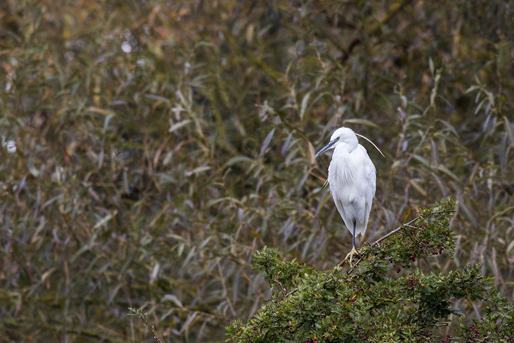 Uninspiring Grey - Little Egret