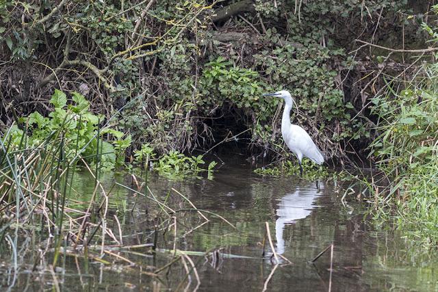Fishing Little Egret