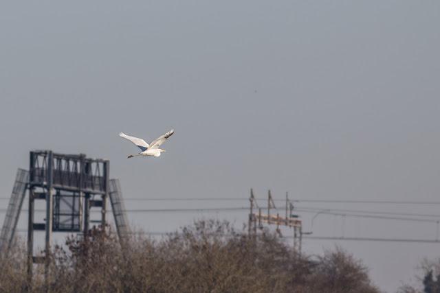 Great White Egret Leaving the Floodplain Forest Nature Reserve