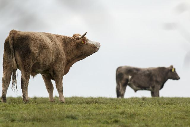 Roaring Bull on Pop Whitings Fields