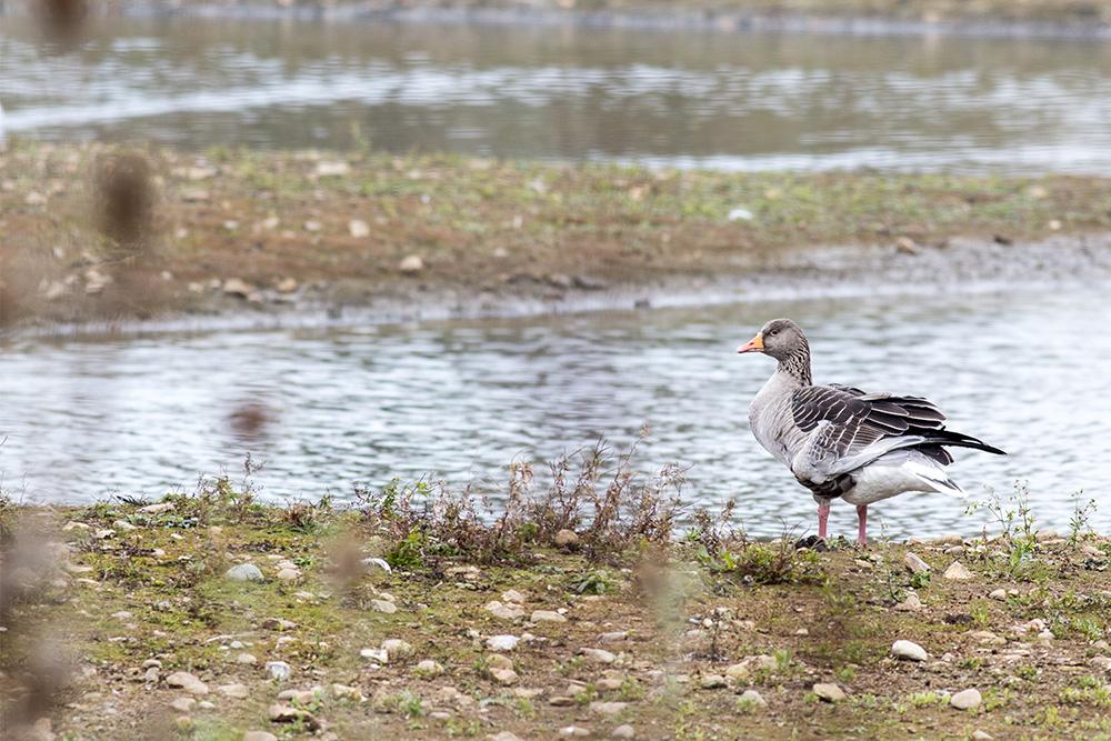 Winter is Coming - Broken wing, the Greylag Goose
