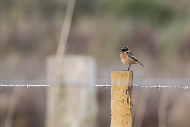 Stonechat on a Post