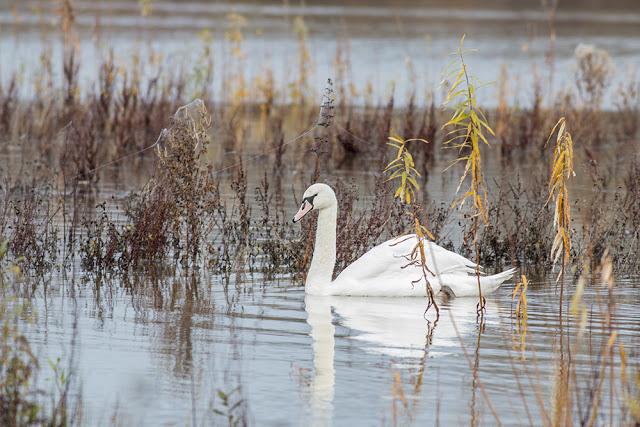 Swimming Mute Swan 2