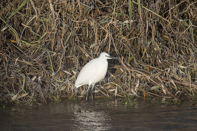 Little Egret on the Banks of the Ouse