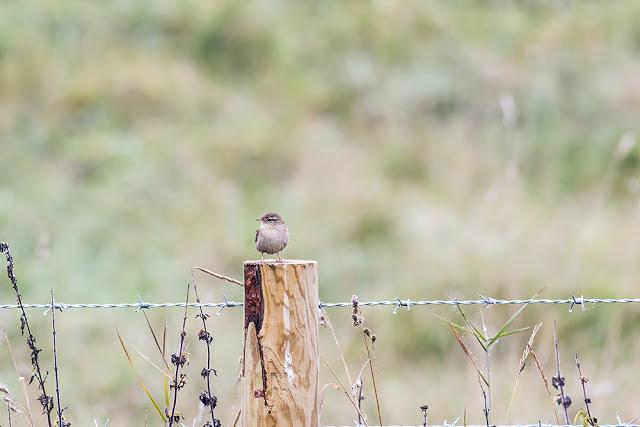 Wren on Fence post