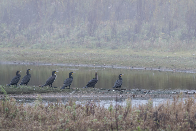 Cormorants at the Floodplain Forest